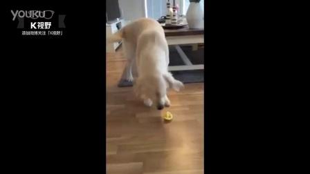 [K分享] 吃了柠檬! 狗狗内心几乎是崩溃的
