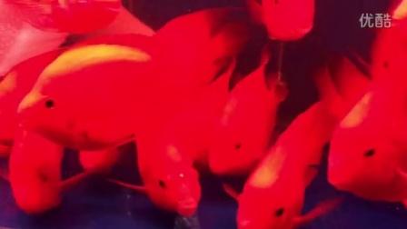 广州鱼乐坊水族出品16-18公分红财神