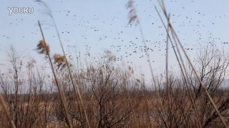 春季观鸟好去处——野鸭湖国家湿地公园