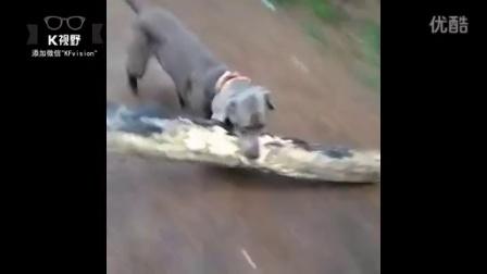 [K分享] 大力出奇迹 小狗叼起巨木飞奔