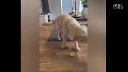 狗狗第一次吃柠檬,哈哈哈哈哈整个狗都被酸傻了.