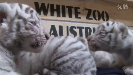 Five rare white tiger cubs make first public appearance – video _ World news _