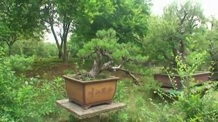 盆景艺术锦集 树桩盘景 浴影摄制_高清