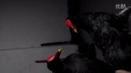 晚上刚抓的黑水鸡