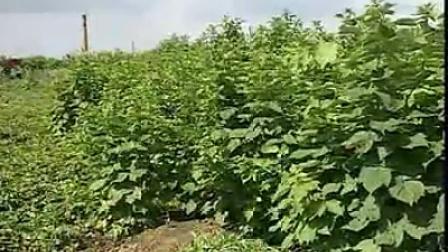 树莓高效栽培技术 上集