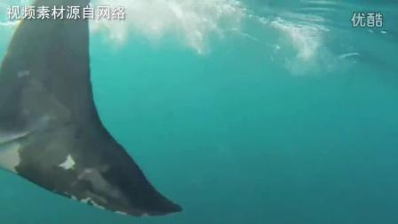 实拍新西兰6米长大白鲨突袭小船惊险画面