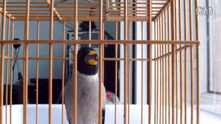 绥化我生待明月超长罗套蜡嘴 【此鸟是老鸟带出的崽子】