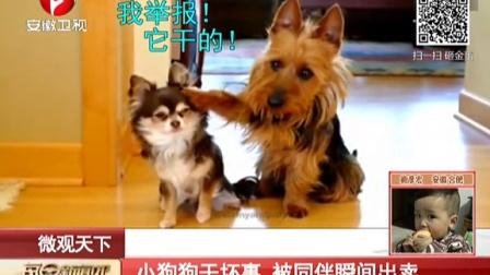 小狗狗干坏事  被同伴瞬间出卖 每日新闻报 150505