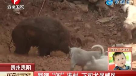"""贵州贵阳:野猪""""闯""""进村  下司犬显威风 每日新闻报 150511"""