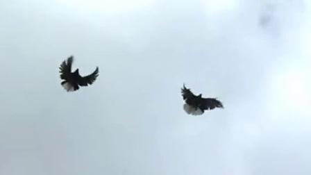 Голуби Серпастые - Pigeons Serpasto