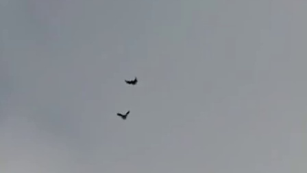 Pigeons Serpasto from Russia - Серпастые голуби из России