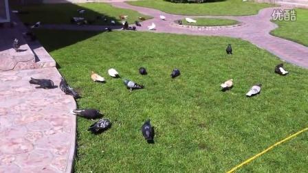 николаевские голуби г
