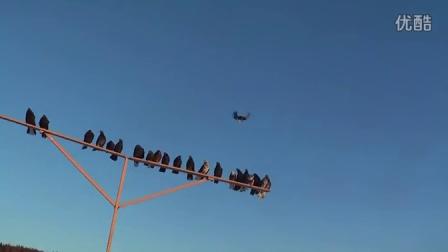 First flights of the pigeons - Первые полеты голубей