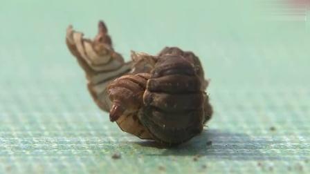 王泽铺黑水虻养殖基地:黑水虻脱皮过程