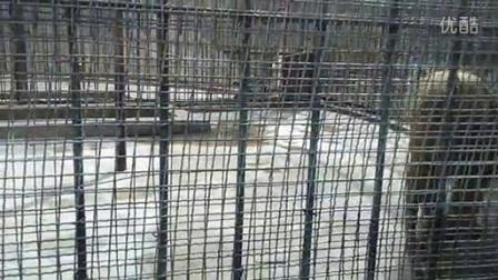 动物园狮子