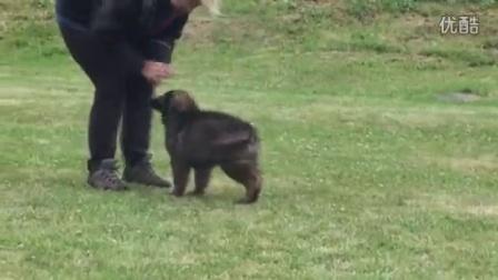 东德牧羊犬,DDR犬,JABAL,幼犬视频,吉诺普犬业,已售幼犬