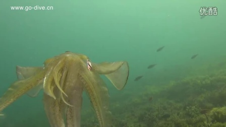 Reef Squid Laying eggs