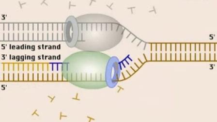 DNA复制,冈崎片段的形成