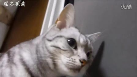 美国短毛猫,生活手札。