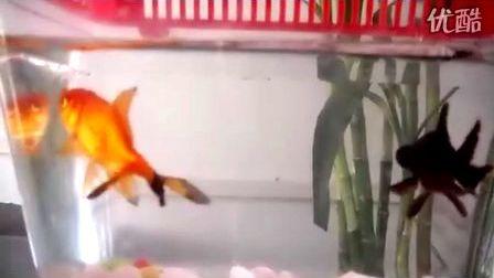 金鱼是一公一母吗