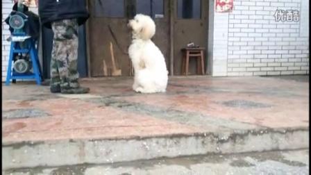 成都德恩训犬学校-巨贵犬乖乖训练视频