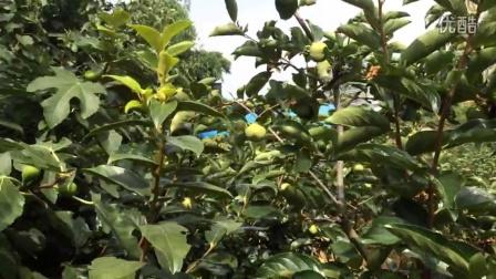"""位于石林县城财务中心二期斜后方的老马冲绿汀果园品种园,""""柿言""""浪漫定制的好地方哦!"""