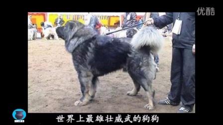 盘点世界各地真实的巨型犬 雄壮威武的宠物狗也让人害怕