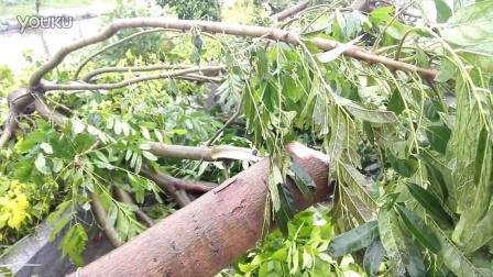 """台风""""莲花""""吹倒沈海高速惠来出口的成排树木"""