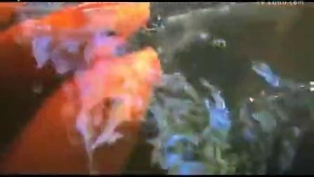 【豆丁奉献】鲤鱼学牛叫,这真是鱼发出的声音吗
