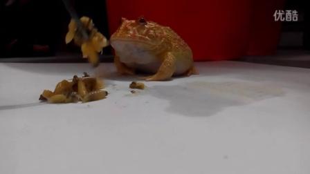 南瓜角蛙吃蜂蛹