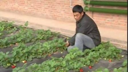 冬草莓种植_老张草莓种植园_草莓高产种植技术