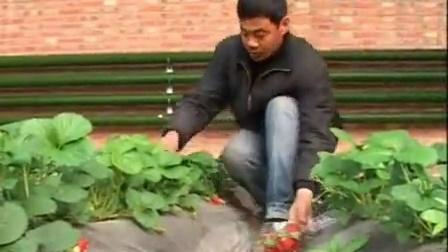 最新草莓种植技术_奶油草莓的种植方法_草莓种植效益分析