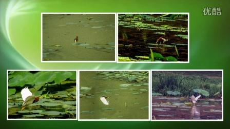 06 碧池荷叶鸟蛙鱼同乐