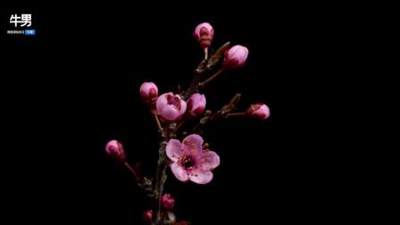 美丽迷人花朵绽放的过程