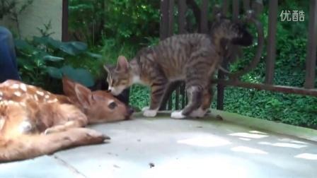 好奇小猫第一次见到梅花鹿 搞笑猫咪视频