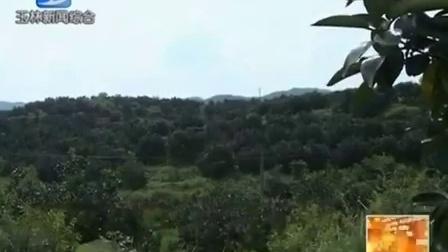 容县:6000多亩蜜柚丰收在望