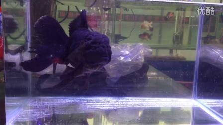 IMG_1078黑泰狮一般商品鱼