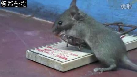 吃完又回来,老鼠贪婪丧命的故事