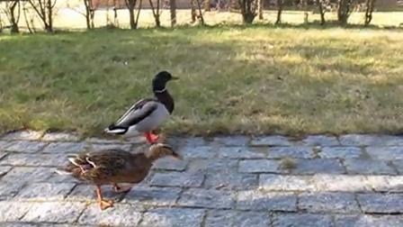Liszt, the ducks and Xu Zi in Dennmark