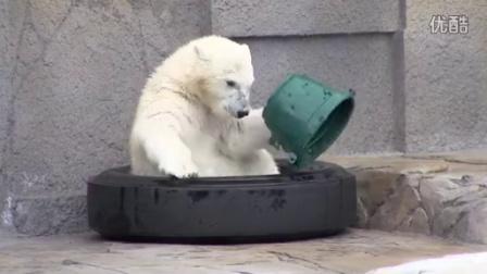 玩桶子的小熊Polar Bear cub play with green bucket 穴空き緑のバケツがお気に入りのこぐま