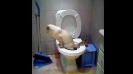 喵星人学主人上厕所