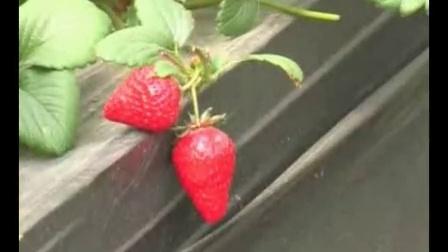 北方草莓种植_冬草莓种植技术_大棚蔬菜种植