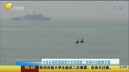 大连长海县海域首次发现国家二级保护动物黑天鹅 第一时间 20151017 高清版