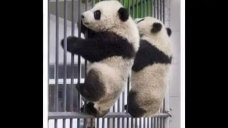 '熊猫咪咪'金视华音24 熊猫图片(写字幕)