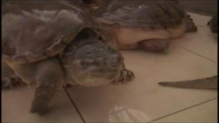 06-凶猛的鳄龟有钱赚