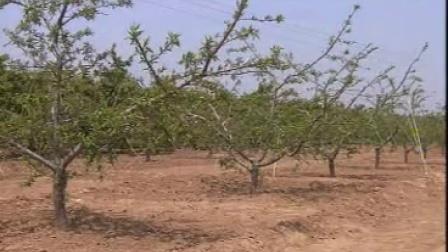 45-深州蜜桃栽培技术