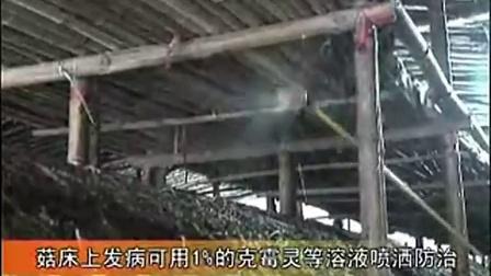 乡镇创业大棚草菇栽培技术之大棚草菇栽培技术下集