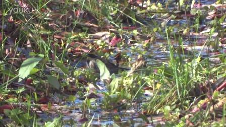 黄喉鵐在冷水浴20151018奥森南园