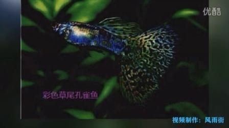 史上最全家养孔雀鱼鉴赏图集一