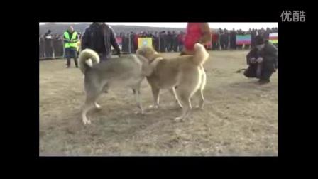中亚猎狼犬最顶级的战犬巴蒂尔罕(中亚猎狼犬世界冠军)